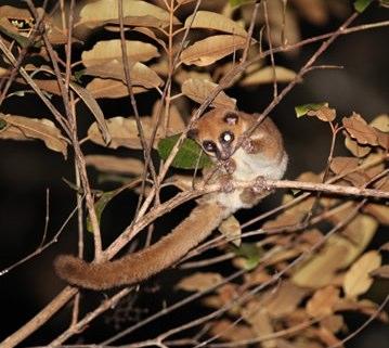 furry-eared dwarf lemur